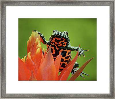 Fire-bellied Toad Framed Print
