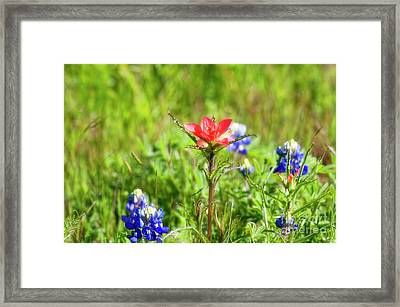 Fire Cracker Framed Print by Joan Bertucci
