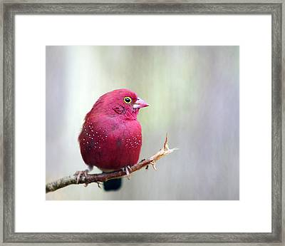 Fire Finch Framed Print