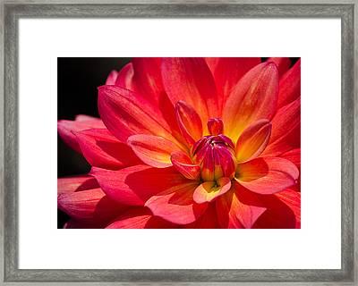 Fire Pot Dahlia Framed Print