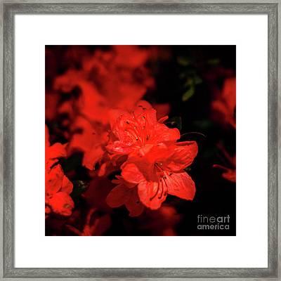 Fire Red Azaleas Framed Print by Tamyra Ayles