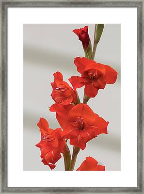 Fire Red Gladiolas Framed Print by Angie Vogel