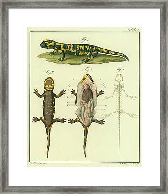 Fire Salamander Anatomy Framed Print by Christian Leopold Mueller
