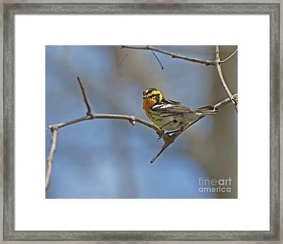 Fire Throat... Framed Print