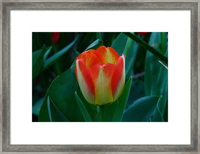 Fire Tulip Framed Print by David Houston