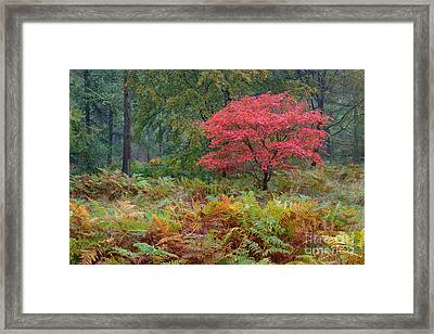 Fireball Alice Holt Forest Framed Print by Richard Thomas
