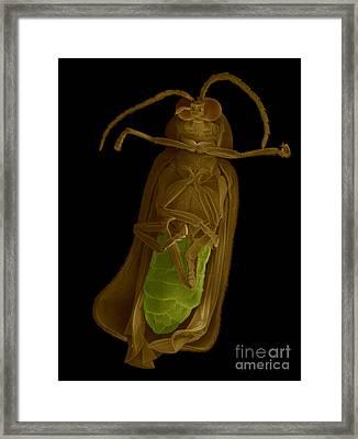 Firefly, Sem Framed Print by Ted Kinsman