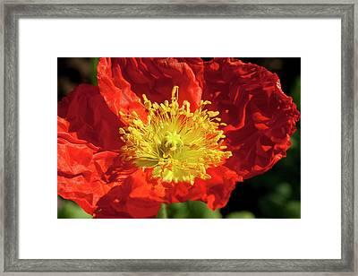 Firery Flower Framed Print