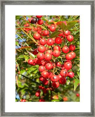 Firethorn Pyracantha Red Cushion Framed Print by Warren Thompson
