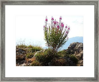Fireweed Epilobium Angustifolium Framed Print