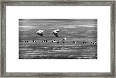 First Arrivals B W 2014-1 Framed Print