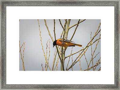 Framed Print featuring the photograph First Baltimore Oriole Of The Year  by Ricky L Jones