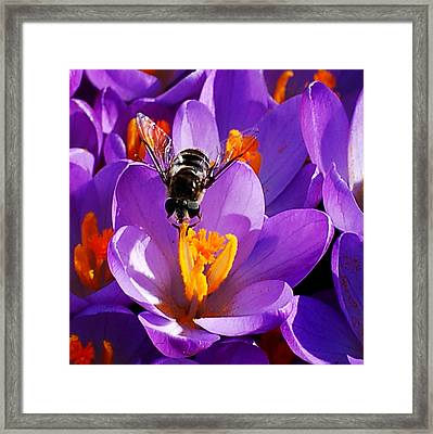 First Bee Of Spring Framed Print