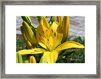 First Bloom Framed Print by Amy Holmes