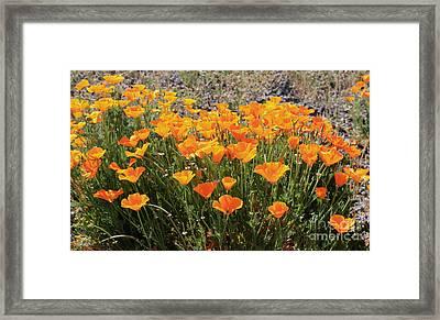 First Bloom Framed Print by Gail Salitui