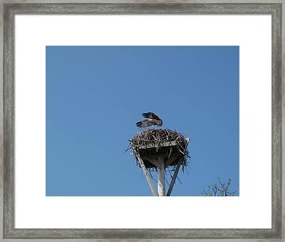 First Flight Framed Print by Carol McCutcheon