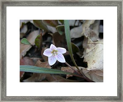First Flower Of Spring Framed Print by Peter  McIntosh