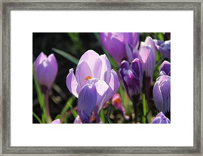 First Flowers Framed Print by Sergey and Svetlana Nassyrov