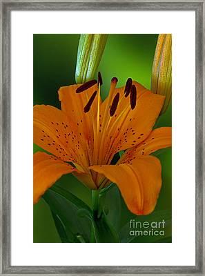 First Orange Bloom Framed Print