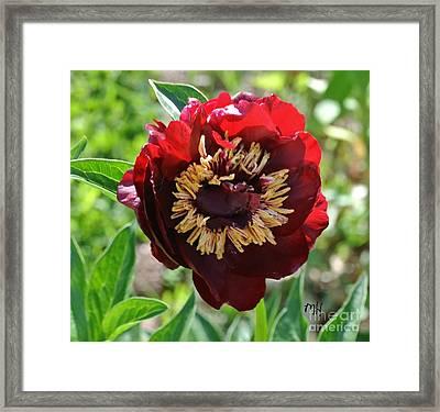 First Peony Bloom Framed Print by Marsha Heiken
