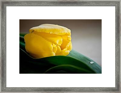 First Tulip Framed Print