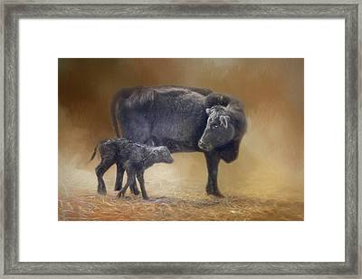 First Walk - Calf And Cow Framed Print