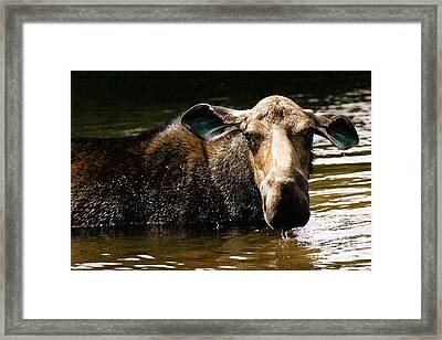 First West Branch Pond Moose Framed Print