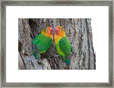 Fischers Lovebird Agapornis Fischeri Framed Print