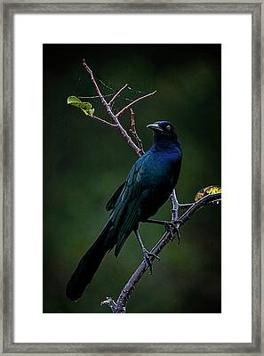 Male Boat-tailed Grackle Framed Print by Cyndy Doty