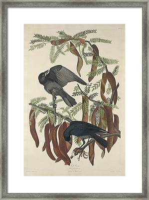 Fish Crow Framed Print by Rob Dreyer