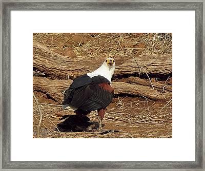 Fish Eagle Framed Print