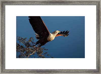 Fish Eagle Taking Flight Framed Print by Johan Swanepoel