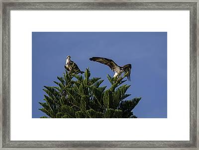 Fish Eagles Framed Print