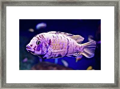 Calico Goldfish Framed Print