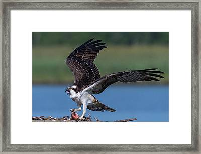 Framed Print featuring the photograph Fish For The Osprey by Cindy Lark Hartman