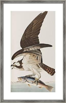 Fish Hawk Or Osprey Framed Print by John James Audubon