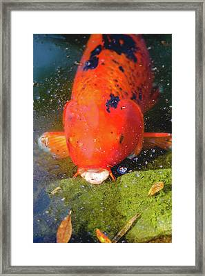 Framed Print featuring the photograph Fish Surprise by Raphael Lopez