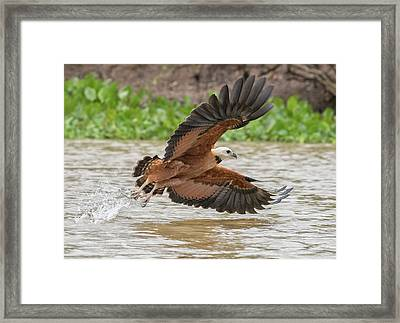 Framed Print featuring the photograph Fishing Hawk by Wade Aiken