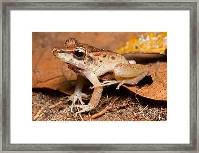 Fitzingers Rain Frog Framed Print