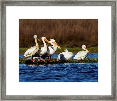 Five American White Pelicans Framed Print by TL Mair
