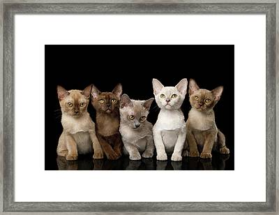 Five Burmese Kittens Framed Print
