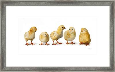 Five Chicks In A Row Framed Print