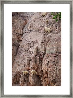 Five Goats Climbing Framed Print