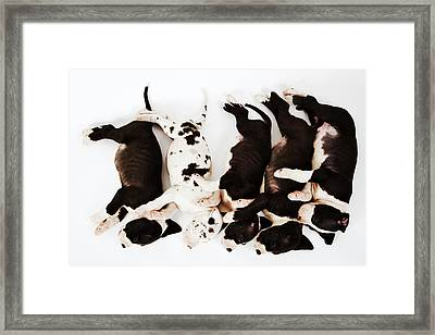 Five Harlequin Great Dane Puppies Sleeping In Row, Overhead View Framed Print by Martin Harvey