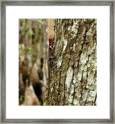 Five Lined Skink Framed Print by Bruce W Krucke