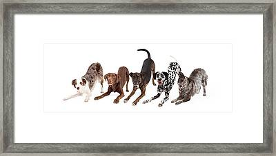 Five Playful Dogs Bowing Framed Print by Susan Schmitz