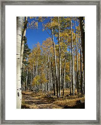Flagstaff Aspens 799 Framed Print