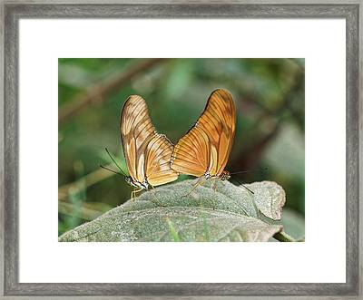 Framed Print featuring the photograph Flambeau Butterfly - 2 by Paul Gulliver