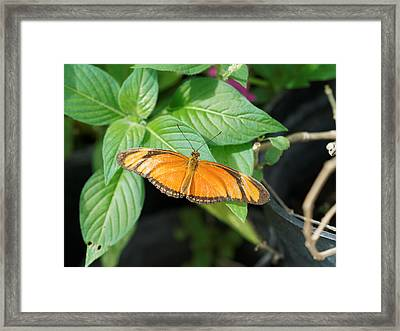 Framed Print featuring the photograph Flambeau Butterfly by Paul Gulliver