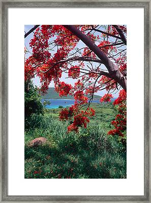 Flamboyan Tree Framed Print by George Oze